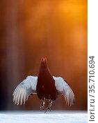 Male Black grouse (Tetrao / Lyrurus tetrix) displaying at lek. Kuusamo, Finland, April. Стоковое фото, фотограф Markus Varesvuo / Nature Picture Library / Фотобанк Лори