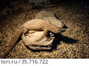 Рептилия Кольцехвостый варан. Ridge-tailtd monitor. Стоковое фото, фотограф Галина Савина / Фотобанк Лори