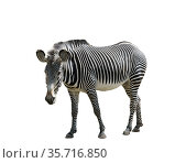 Zebra on a white background isolated. Стоковое фото, фотограф Наталья Волкова / Фотобанк Лори