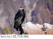 Andean Condor (Vultur gryphus) sitting at Mirador Cruz del Condor... Стоковое фото, фотограф Zoonar.com/Don Mammoser / age Fotostock / Фотобанк Лори