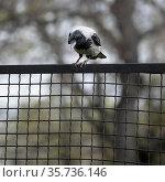 Серая ворона (лат. Corvus cornix) сидит на ограде, лапой прижала добычу и смотрит по сторонам. Стоковое фото, фотограф Наталья Николаева / Фотобанк Лори