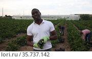 Portrait of African american farm worker hand harvesting organic zucchini crop on fertile agriculture land. Стоковое видео, видеограф Яков Филимонов / Фотобанк Лори