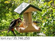 Meise im Vogelhäuschen mit Vogelfutter. Стоковое фото, фотограф ROHA-Fotothek Fuermann / age Fotostock / Фотобанк Лори