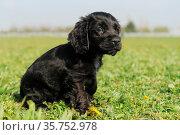 Portrait of a puppy purebred english cocker in a field. Стоковое фото, фотограф Zoonar.com/emmanuelle bonzami / age Fotostock / Фотобанк Лори
