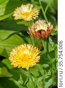 Календула, или ноготки (лат. Calendula officinalis) цветет в саду. Стоковое фото, фотограф Елена Коромыслова / Фотобанк Лори