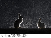 Mountain hares (Lepus timidus) backlit in snow at night, Vauldalen... Стоковое фото, фотограф Erlend Haarberg / Nature Picture Library / Фотобанк Лори