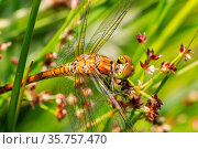 Dragonfly rudy darter, Sympetrum sanguineum, between grass. Стоковое фото, фотограф Zoonar.com/Hilda Weges / easy Fotostock / Фотобанк Лори