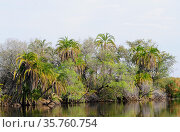 Senegal palm (Phoenix reclinata) is a Palm native to tropical Africa... Стоковое фото, фотограф J M Barres / age Fotostock / Фотобанк Лори
