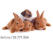 Young rabbits fauve de Bourgogne and puppy jack russel terrier in... Стоковое фото, фотограф Zoonar.com/Emmanuelle BONZAMI / age Fotostock / Фотобанк Лори
