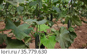 Rows of cucumber plants growing in large commercial greenhouse. Industrial vegetables cultivation. Стоковое видео, видеограф Яков Филимонов / Фотобанк Лори