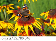 Бабочка Адмирал (лат. Vanessa atalanta) на цветке рудбекии. Стоковое фото, фотограф Елена Коромыслова / Фотобанк Лори