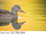 Mallard (Anas platyrhynchos) female swimming with autumn colours reflected in the water, London, UK, November. Стоковое фото, фотограф Oscar Dewhurst / Nature Picture Library / Фотобанк Лори