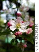 Нежный цветок яблони с бело-розовыми лепестками крупным планом. Стоковое фото, фотограф Светлана Шимкович / Фотобанк Лори