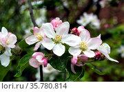 Цветы яблони с бело-розовыми лепестками. Стоковое фото, фотограф Светлана Шимкович / Фотобанк Лори