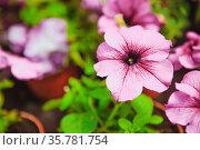 Beautiful petunia flowers in the garden. Photo with depth of field. Стоковое фото, фотограф Zoonar.com/Maxim Pavlov / age Fotostock / Фотобанк Лори