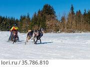 German championship sled dog race Frauenwald 2015. Стоковое фото, фотограф Zoonar.com/H.Eschrich / age Fotostock / Фотобанк Лори