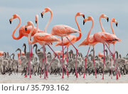 Caribbean flamingos (Phoenicopterus ruber) adults and chicks in breeding colony, Ria Lagartos Biosphere Reserve, Yucatan Peninsula, Mexico, June. Стоковое фото, фотограф Claudio Contreras / Nature Picture Library / Фотобанк Лори