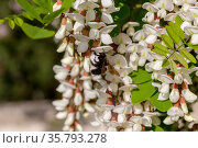Big carpenter bee collect nectar and acacia tree with white clusters (Robinia pseudoacacia) close-up, on a summer, sunny day. Стоковое фото, фотограф Татьяна Ляпи / Фотобанк Лори