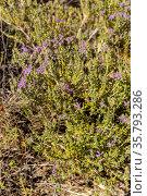 The medicinal, wild plant (Satureja montan) close-up. Стоковое фото, фотограф Татьяна Ляпи / Фотобанк Лори