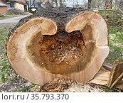Спил дерева, сгнившего изнутри. Стоковое фото, фотограф Мария Кылосова / Фотобанк Лори