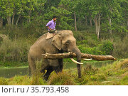 Asiatic elephant (Elephas maximus) carrying timber from buffer zone, Chitwan National Park, Nepal March 2019. Стоковое фото, фотограф Dave Watts / Nature Picture Library / Фотобанк Лори
