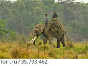 Asiatic elephant (Elephas maximus) with mahout, carrying grass for fodder from buffer zone of Chitwan National Park, Nepal March 2019. Стоковое фото, фотограф Dave Watts / Nature Picture Library / Фотобанк Лори