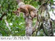 Male Fossa (Cryptoprocta ferox) climbing down tree trunk from forest canopy. Mid-altitude rainforest, Andasibe-Mantadia National Park, eastern Madagascar. Endangered. Стоковое фото, фотограф Nick Garbutt / Nature Picture Library / Фотобанк Лори