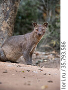 Adult female Fosa (Cryptoprocta ferox) (sometimes incorrectly Fossa) on deciduous forest floor. Kirindy Forest, western Madagascar. Стоковое фото, фотограф Nick Garbutt / Nature Picture Library / Фотобанк Лори