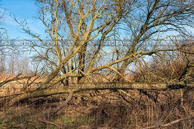 Wetlands of Dutch National Park Oostvaardersplassen with broken trees...