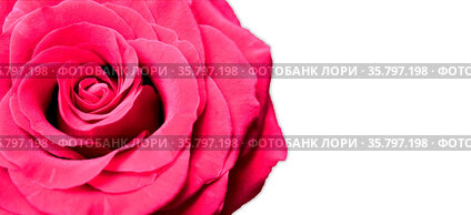 Red Rose isolated on white background with copy space. Valentines...