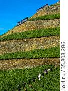 Steile Weinbergterassen auf Trockenmauern aus Naturstein, Weinberg... Стоковое фото, фотограф Zoonar.com/GFC Collection / age Fotostock / Фотобанк Лори
