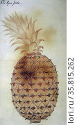 """The Pyne frute,"" watercolour by John White, circa 1585. Редакционное фото, агентство World History Archive / Фотобанк Лори"