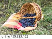 Ripe plums in a wicker basket on the grass. Стоковое фото, фотограф Володина Ольга / Фотобанк Лори