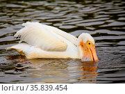 White Pelican (Pelecanus erythrorhynchos) feeding in the water, Florida. Стоковое фото, фотограф Zoonar.com/Don Mammoser / age Fotostock / Фотобанк Лори