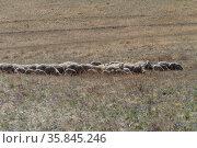 Овцы на пастбищах в степном  Забайкалье. Стоковое фото, фотограф Геннадий Соловьев / Фотобанк Лори