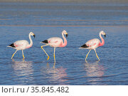 Andean flamingos (Phoenicoparrus andinus) reflected in water , Laguna Colorado, Eduardo Avaroa Andean Fauna National Reserve, altiplano of Bolivia. March. Стоковое фото, фотограф John Shaw / Nature Picture Library / Фотобанк Лори