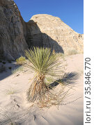 Yucca utahensis is a perennial plant native to deserts of USA (Utah... Стоковое фото, фотограф J M Barres / age Fotostock / Фотобанк Лори