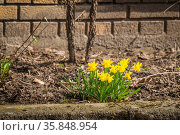 Yellow daffodils in a flowerbed outside a brickhouse in the spring. Стоковое фото, фотограф Zoonar.com/Polarpx / age Fotostock / Фотобанк Лори