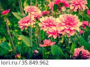 Violet Dahlia flowers in a garden at summertime. Стоковое фото, фотограф Zoonar.com/Kasper Nymann / age Fotostock / Фотобанк Лори