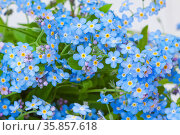 Blue delicate flowers of garden forget-me-not - natural floral background. Стоковое фото, фотограф Анна Гучек / Фотобанк Лори