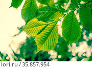 Beech tree with green leaves in the spring. Стоковое фото, фотограф Zoonar.com/Kasper Nymann / age Fotostock / Фотобанк Лори