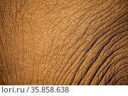 Elefantenhaut im South Luangwa Nationalpark, Sambia, Loxodonta africana... Стоковое фото, фотограф Zoonar.com/W. Woyke / age Fotostock / Фотобанк Лори