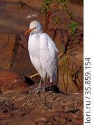 Reiher, Heron, Südafrika, South Africa. Стоковое фото, фотограф Zoonar.com/W. Woyke / age Fotostock / Фотобанк Лори