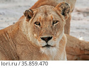 Löwin, Südafrika, Lioness, female lion, south africa. Стоковое фото, фотограф Zoonar.com/W. Woyke / age Fotostock / Фотобанк Лори