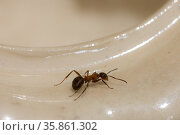 Ant close up. Стоковое фото, фотограф Argument / Фотобанк Лори