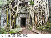 Roots of a spung running along the jungle temples of Ta Prohm. Siem... Стоковое фото, фотограф Marco Brivio / age Fotostock / Фотобанк Лори
