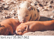 Piglets taking a nap in the sand in a barnyard. Стоковое фото, фотограф Zoonar.com/Polarpx / age Fotostock / Фотобанк Лори
