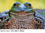 Frosch, Wasserfrosch, smiling frog. Стоковое фото, фотограф Zoonar.com/W. Woyke / age Fotostock / Фотобанк Лори