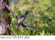 Toko, graues Gefieder, mit Beute im Moremi Wildreservat, Botswana. Стоковое фото, фотограф Zoonar.com/Wibke Woyke / age Fotostock / Фотобанк Лори