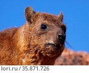 Klippschliefer, Südafrika, Rock Dassie, South Africa, wildlife. Стоковое фото, фотограф Zoonar.com/Wibke Woyke / age Fotostock / Фотобанк Лори